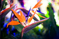 Crane Flower or Bird of Paradise Royalty Free Stock Photo