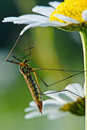 Crane Fly Stock Photos