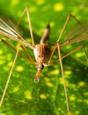Crane fly close up Royalty Free Stock Photo