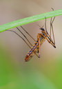 Crane fly macro photography of with natural background Royalty Free Stock Photo