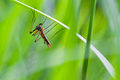 Crane fly macro photography of with natural background Royalty Free Stock Image