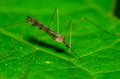 Crane fly perched on a green plant leaf Stock Photos