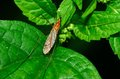 Crane fly perched on a green plant leaf Royalty Free Stock Photography