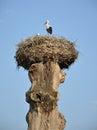Crane Nest On An Old Tree