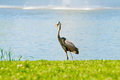 Crane with open beak beautiful near a lake Stock Photo
