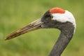 Crane wild bird grus grus head of Stock Photo