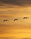 Cranes at sunset three sandhill soar into the Royalty Free Stock Photo