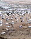 Cranes and whooper swans Royalty Free Stock Photos