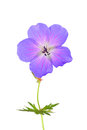 Cranesbill Royalty Free Stock Photo