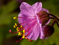 Cranesbill Flower (Bulgarian Geranium) Royalty Free Stock Photography