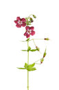 Cranesbill geranium red flowers buds seedheads and leaves isolated against white Royalty Free Stock Photo