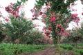 Crape Myrtle Garden