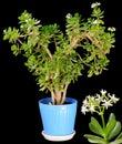 Crassula Arborescens. Royalty Free Stock Photo