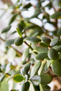 Crassula or jade plant closeup Royalty Free Stock Photo