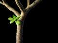Crassula ovata conceptual image of money tree jade plant isolated on black Royalty Free Stock Photography