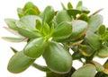 Crassula plant isolated Stock Photo
