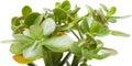 Crassula plant isolated on white background Stock Images