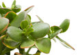 Crassula plant isolated on white background Royalty Free Stock Photo