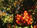 Crataegus tree berries in the fall in central park manhattan new york Royalty Free Stock Photo