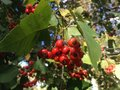 Crataegus tree berries in the fall in central park manhattan new york Stock Photography
