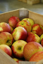 Crate of Cortland Apples Royalty Free Stock Photo