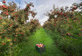 Crate in orchard ripe apples on trees and Royalty Free Stock Photos