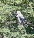 Crater Lake Oregon grey white feathered bird Royalty Free Stock Photo