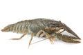 Crawfish alive Royalty Free Stock Photo