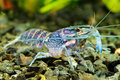 Crawfish the blue in a freshwater aquarium Royalty Free Stock Photography