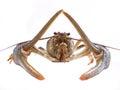 Crawfish on a white background Stock Photography