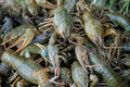 Crawfishes Stock Images