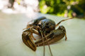 Crayfish closeup of a live Royalty Free Stock Photo