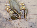 Crayfish On The River-Bank Royalty Free Stock Images