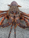 Crayfish spiny rock lobster Royalty Free Stock Photo