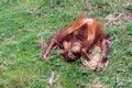 Crazy baby orangutan Royalty Free Stock Photo