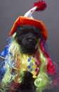 Crazy clown dog a poodle in a rainbow wig and costume on a gray background Stock Photo