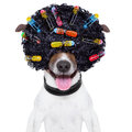 Crazy curly hair dog with a afro look wig and curlers Royalty Free Stock Photo
