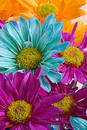 Crazy Daisies Royalty Free Stock Photo