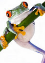 Crazy frog Royalty Free Stock Photography