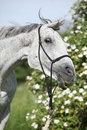 Crazy portrait of white English Thoroughbred horse Royalty Free Stock Photo