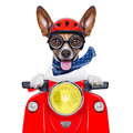 Crazy silly motorbike dog with helmet and sticking out the tongue Stock Photos