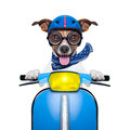 Crazy speed dog silly motorbike with helmet and sticking out the tongue Royalty Free Stock Images