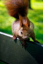 Crazy squirrel little looking curiously Royalty Free Stock Image