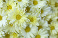 Cream Colored Mums Royalty Free Stock Photo