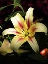 Cream lily close up beautiful Royalty Free Stock Photo