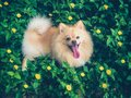 Cream pomeranian puppy playing with the happiness on the yellow