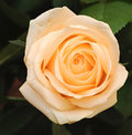 Cream rose with leaves Stock Photo