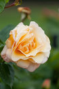 Cream rose with water drops on petals Stock Photography
