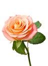 Cream rose on white background Stock Images