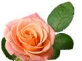 Cream rose on white background Stock Photography